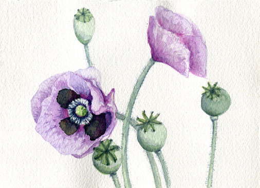 Poppies, aquarel, personal work.